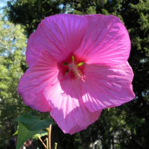 Roseneibisch Bluete pink Hibiscus moscheutos 02