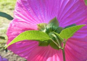 Roseneibisch Bluete pink Hibiscus moscheutos 03
