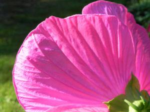 Roseneibisch Bluete pink Hibiscus moscheutos 09