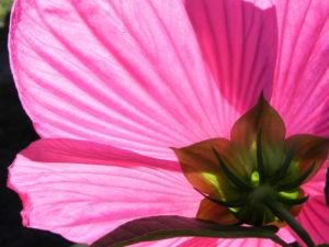 Roseneibisch Bluete pink Hibiscus moscheutos 13