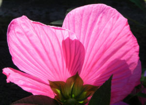 Roseneibisch Bluete pink Hibiscus moscheutos 14
