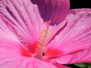 Roseneibisch Bluete pink Hibiscus moscheutos 15