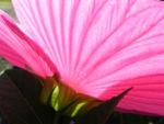 Roseneibisch Bluete pink Hibiscus moscheutos 19