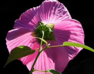 Roseneibisch Bluete pink Hibiscus moscheutos 21