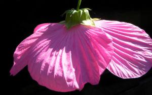Roseneibisch Bluete pink Hibiscus moscheutos 26