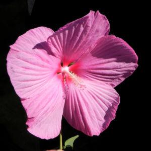 Roseneibisch Bluete pink Hibiscus moscheutos 34