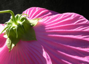 Roseneibisch Bluete pink Hibiscus moscheutos 36