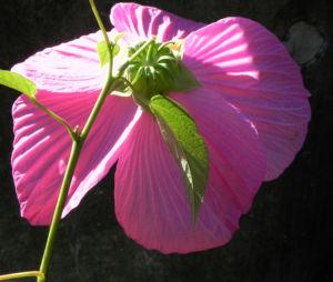 Roseneibisch Bluete pink Hibiscus moscheutos 37