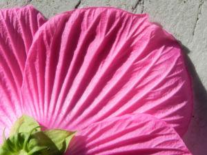 Roseneibisch Bluete pink Hibiscus moscheutos 38
