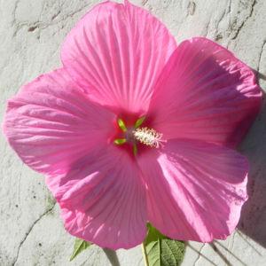 Roseneibisch Bluete pink Hibiscus moscheutos 39