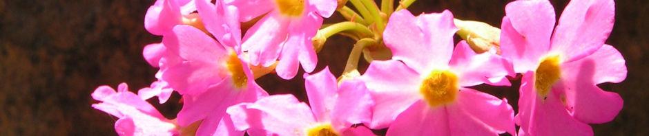 rosenrote-schluesselblume-bluete-rot-primula-rosea