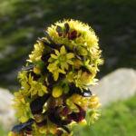 Rosetten Dickblatt Bluete gelb Aeonium arboreum 01