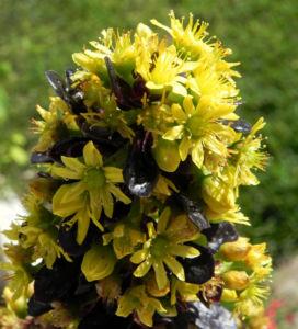 Rosetten Dickblatt Bluete gelb Aeonium arboreum 02