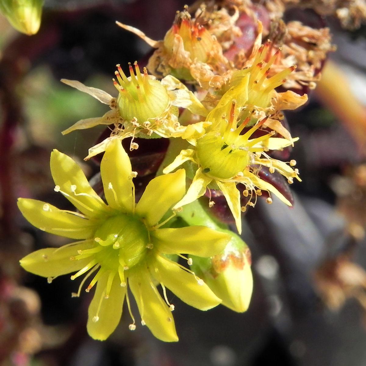 Rosetten Dickblatt Bluete gelb Aeonium arboreum