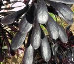 Rosetten Dickblatt Bluete gelb Aeonium arboreum 04