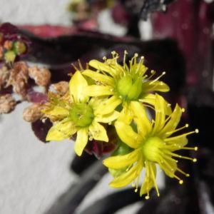 Rosetten Dickblatt Bluete gelb Aeonium arboreum 06