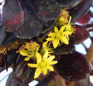Rosetten Dickblatt Bluete gelb Aeonium arboreum 09