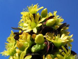 Rosetten Dickblatt Bluete gelb Aeonium arboreum 11