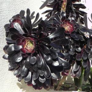 Rosetten Dickblatt Bluete gelb Aeonium arboreum 14