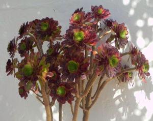 Rosetten Dickblatt Bluete gelb Aeonium arboreum 15