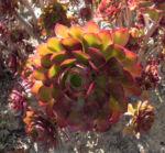 Rosetten Dickblatt Bluete gelb Aeonium arboreum 20