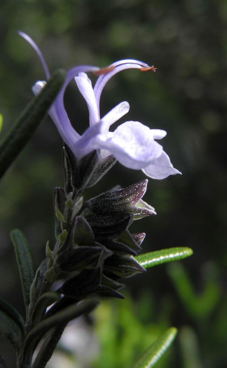 Rosmarin Bluete hellblau Rosmarinus officinalis