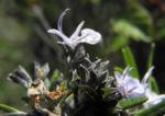 Rosmarin Bluete hellblau Rosmarinus officinalis 05