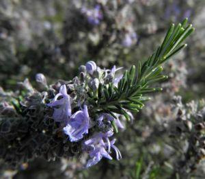 Rosmarin Blüte hellblau Rosmarinus officinalis