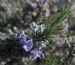 Zurück zum kompletten Bilderset Rosmarin Blüte hellblau Rosmarinus officinalis