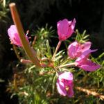 Rosmarin Weidenroeschen Bluete pink Epilobium dodanaei 02