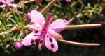 Rosmarin Weidenroeschen Bluete pink Epilobium dodanaei 09