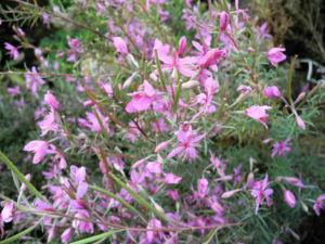 Rosmarin Weidenroeschen Bluete pink Epilobium dodonaei 01