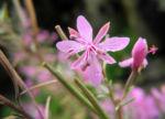 Rosmarin Weidenroeschen Bluete pink Epilobium dodonaei 03