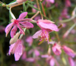 Bild: Rosmarin-Weidenröschen Blüte pink Epilobium dodonaei