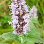 Ross Minze Bluete hell Mentha longifolia 02