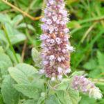 Ross Minze Bluete hell Mentha longifolia 03