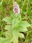 Ross Minze Bluete hell Mentha longifolia 04