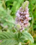 Ross Minze Bluete hell Mentha longifolia 05