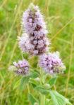 Ross Minze Bluete hell Mentha longifolia 06