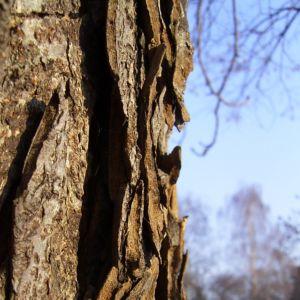Rosskastanie Rinde Aesculus hippocastanum 01