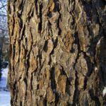 Bild: Rosskastanie Rinde grau braun Aesculus hippocastanum