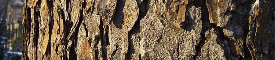 Anklicken um das ganze Bild zu sehen Rosskastanie Rinde grau braun Aesculus hippocastanum