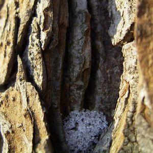 Rosskastanie Rinde Aesculus hippocastanum 03