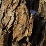 Rosskastanie Rinde Aesculus hippocastanum 04