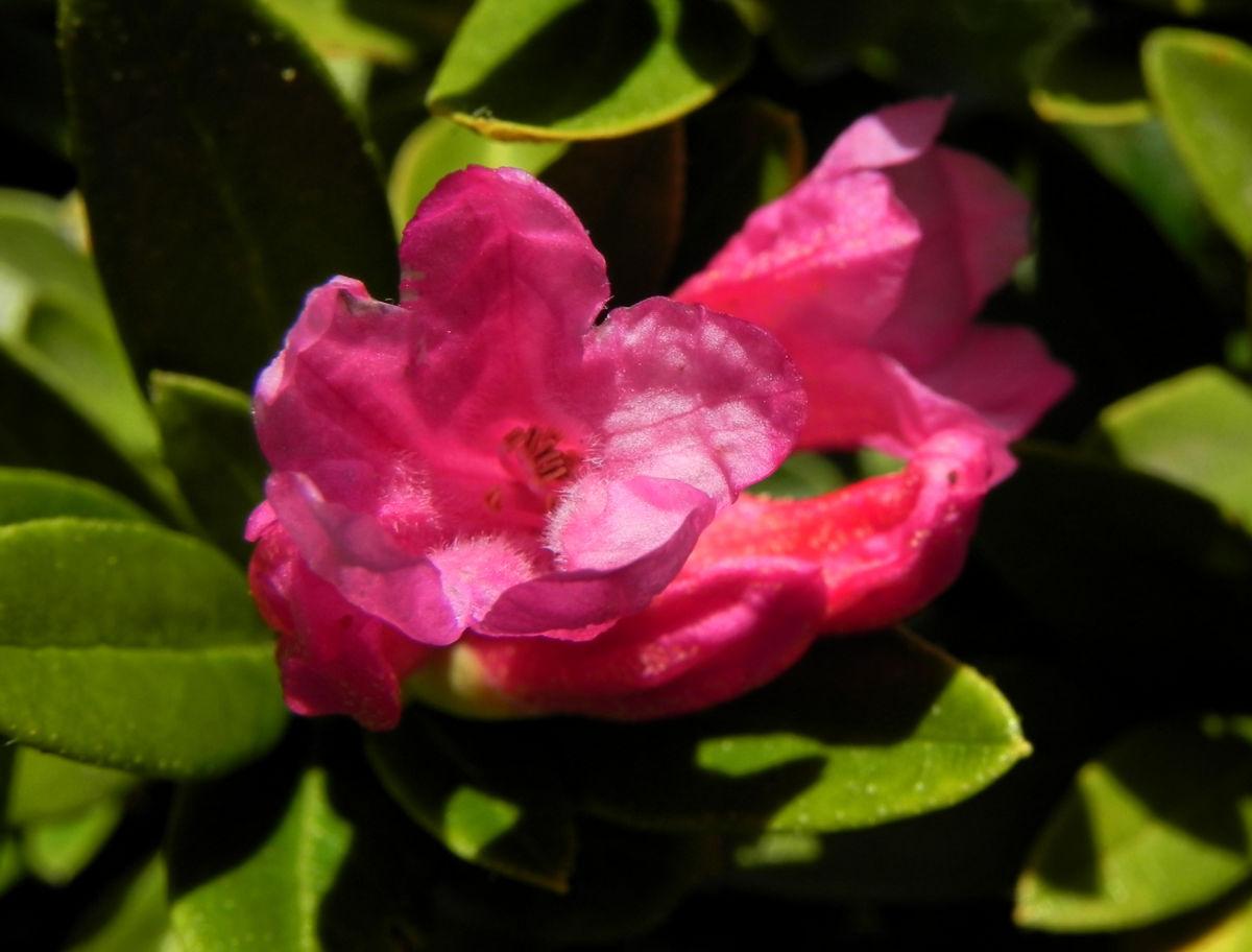 Rostblaettrige Alpenrose Blatt gruen Bluete pink Rhododendron ferrugineum