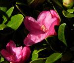 Rostblaettrige Alpenrose Blatt gruen Bluete pink Rhododendron ferrugineum 02