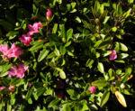 Rostblaettrige Alpenrose Blatt gruen Bluete pink Rhododendron ferrugineum 03