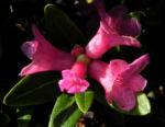 Rostblaettrige Alpenrose Bluete pink Rhododendron ferrugineum 24