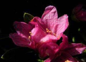 Rostblaettrige Alpenrose Bluete pink Rhododendron ferrugineum 25