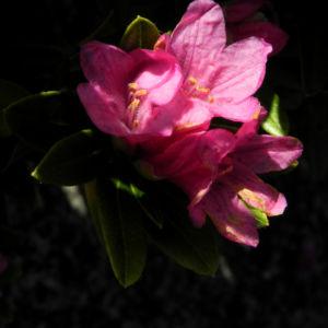 Rostblaettrige Alpenrose Bluete pink Rhododendron ferrugineum 31